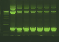 DNA SYBR stained Gel on Transilluminator (23,433 bytes)